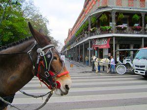 nola horse