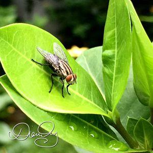 Leaf Fly 1