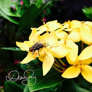 Flower Fly 1