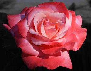 Varigated Rose