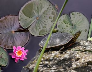 Turtle with Lily pads