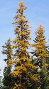 Yellow Western Larch Trees