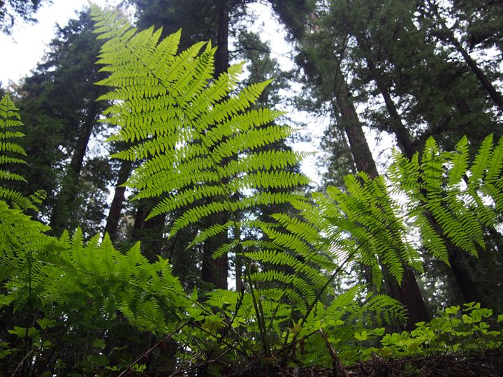 Fern and Redwoods - Dark Forest Creature - photography and painting