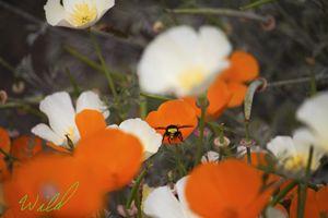 Bumblebee in Poppies