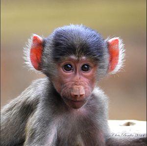 Cute little baboon