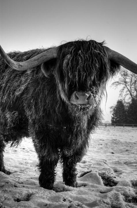 Highland Cattle 24 - Justin Short