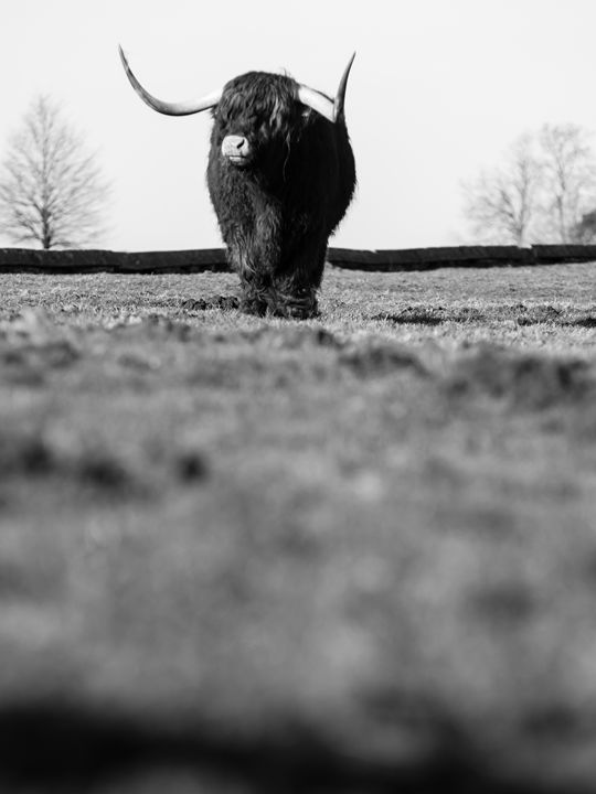Highland Cattle 17 - Justin Short
