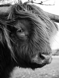 Highland Cattle 18