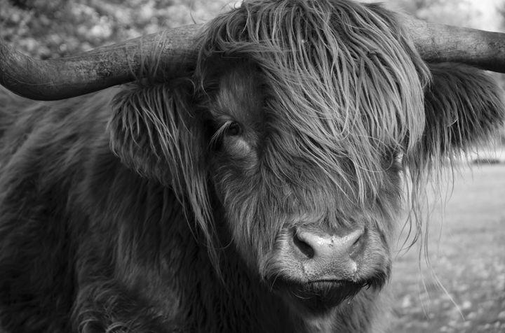 Highland Cattle 19 - Justin Short