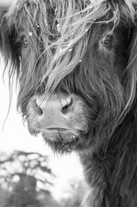 Highland Cattle 5