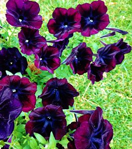 Black Petunias - Stray the path