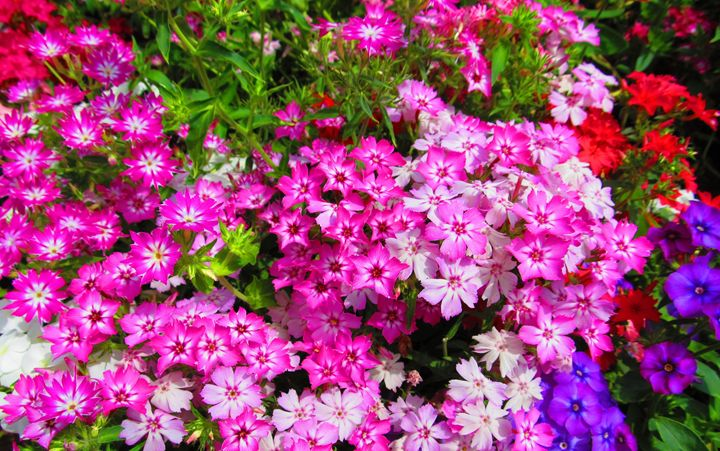 Pinky Violets - Indiartica