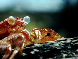 crabshell