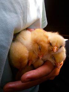 chick on grab