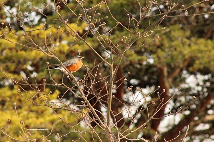 Sunlight on Robin - Nature and Wildlife Art
