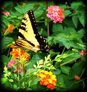 Butterfly Weed and Swallowtail
