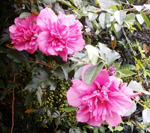 Rose of Sharon Trinity