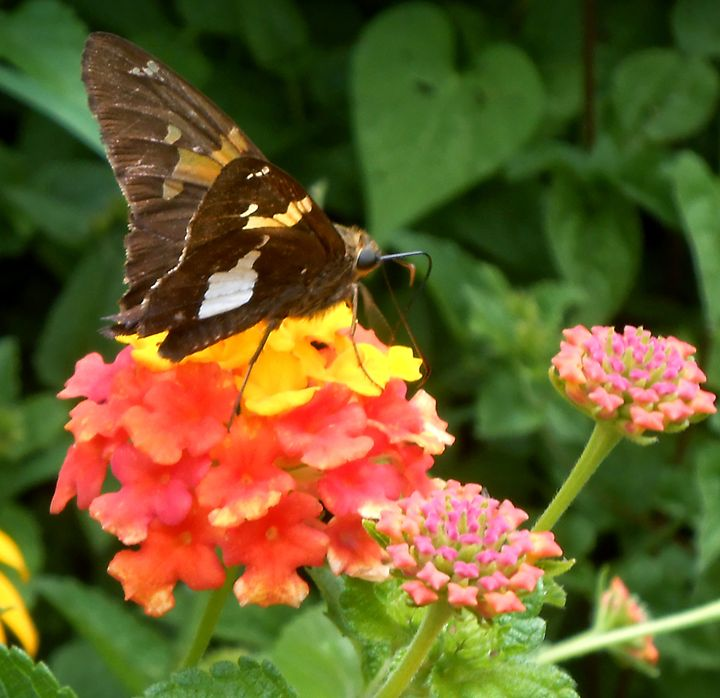Mid Day Snack-Skipper Butterfly - WhiteOaks Photography and Artwork, LLC