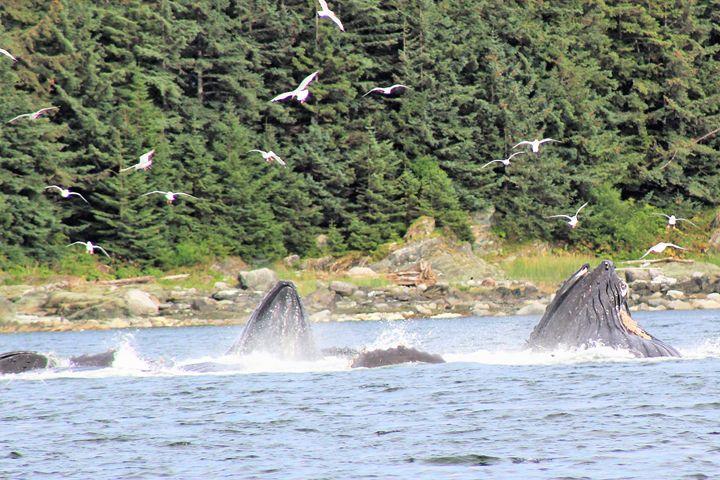 Bubble feeding in Auke Bay - Pat Hansen's Photos
