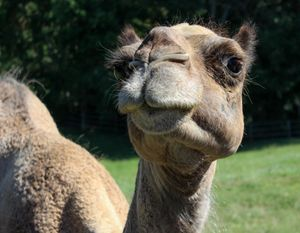 Hump Day Camel - Randall Messina