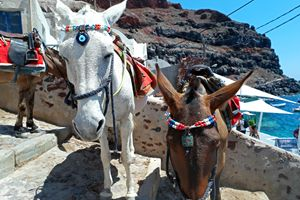 Grecian Donkeys, Santorini