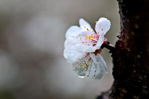 Rainy Day Of Hanami Season - digimatic