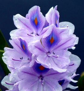 Hyacinth Up Close - My Favorite Photography