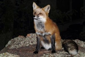 Red Fox with Winter Coat