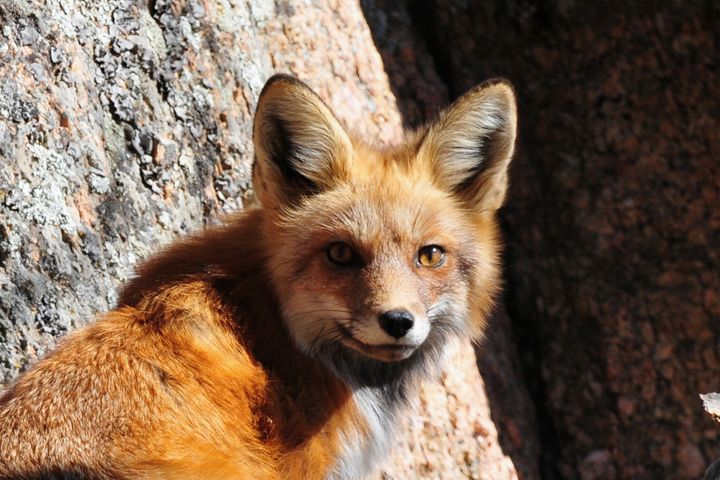 Red Fox by Boulder - Marilyn Burton Photography