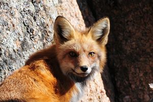 Red Fox by Boulder