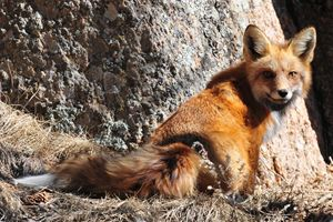 Red Fox Near Her Den