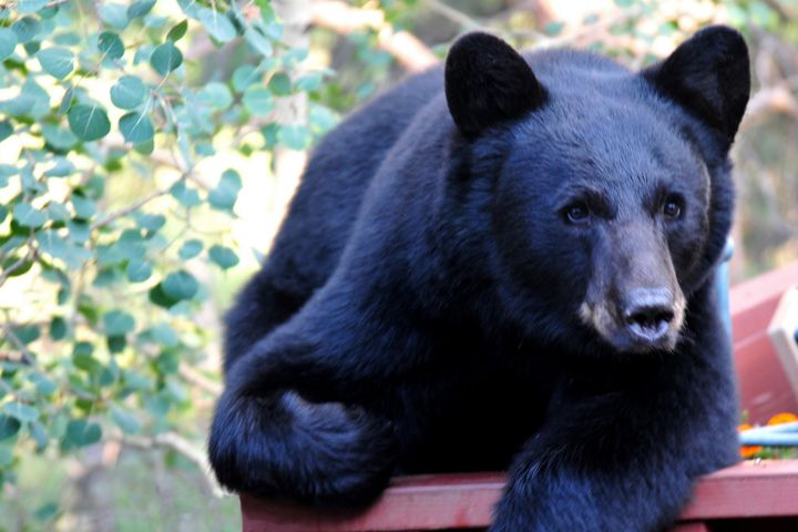 Black Bear - Lazy Days - Marilyn Burton Photography