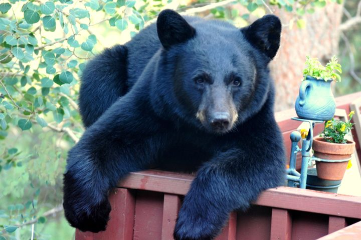 Black Bear - Chilled Out - Marilyn Burton Photography