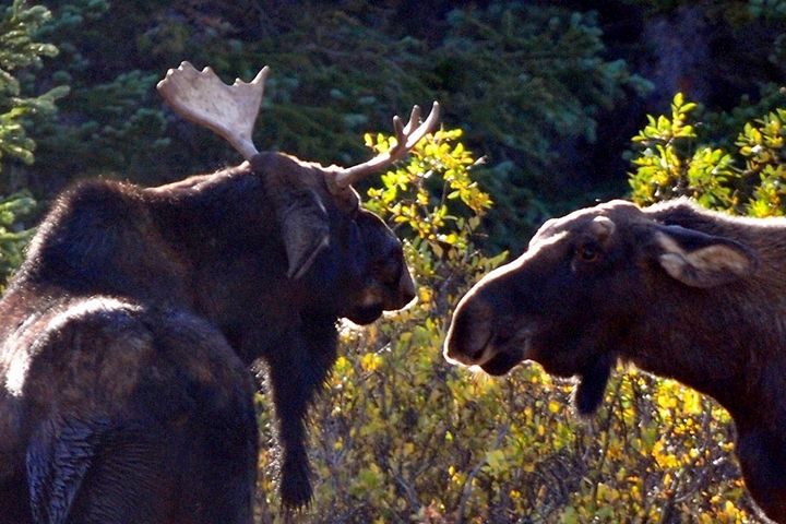 Colorado Moose - Marilyn Burton Photography