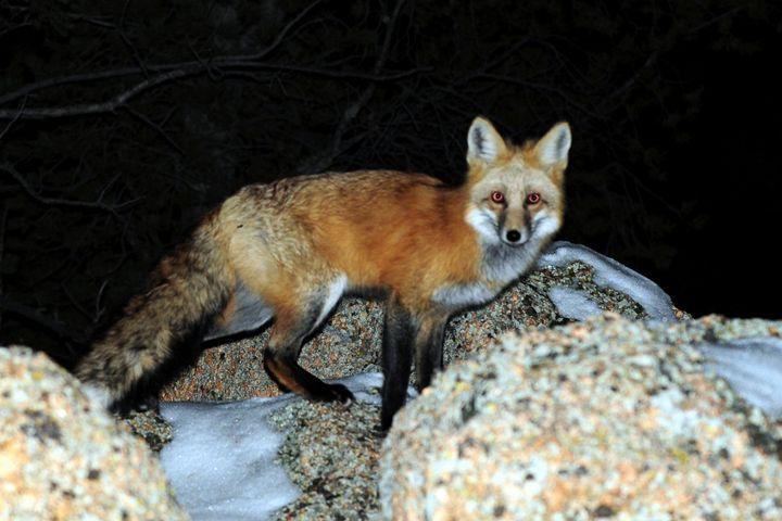 Red Fox - Piercing Eyes - Marilyn Burton Photography