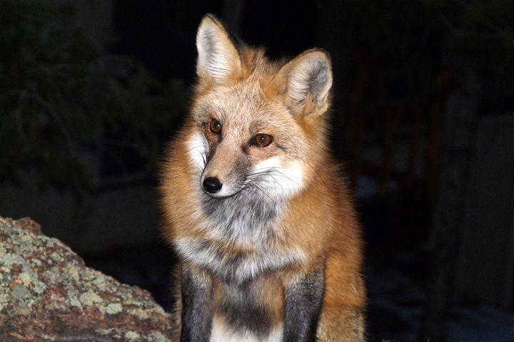 Red Fox in the Dark - Marilyn Burton Photography