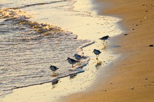 Sand pipers in the surf