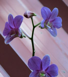 Orchid..1