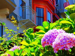 HYDRANGEAS ON LOMBARD DRIVE - SHAUNS ART