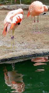 Flamingos - Stephanie Astin