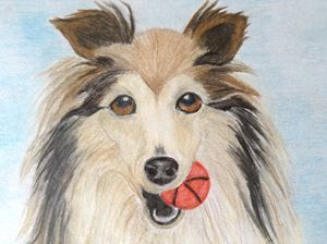 Playful Sheltie dog
