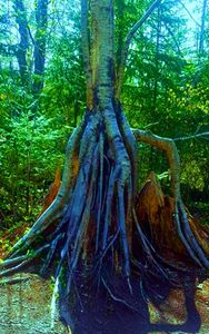 Roots Tree