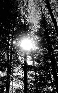 Sun Through Trees (Black & White)
