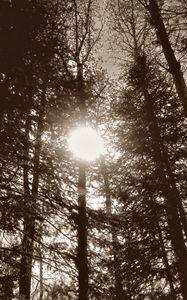 Sun Through Trees (Sepia)