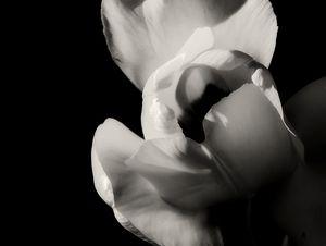 Tulip in Black and White