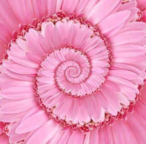 Pink Spiral Gerbera Flower Droste