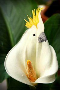Funny Cockatoo Calla Lilly