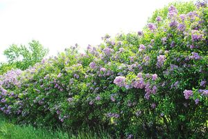 Angle Of The lilac Hedge