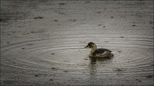 Good Weather For A Duckling?