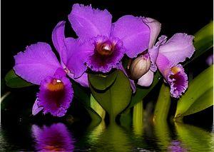 Orquideas con Reflejo